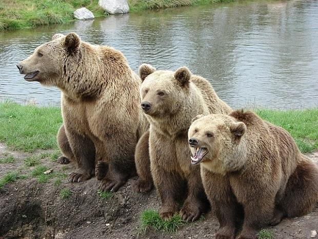 Bärenrudel Contentbären